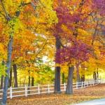 maple_leaves_0001