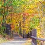 maple_leaves_0002