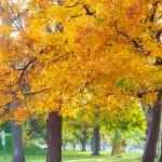 maple_leaves_0003