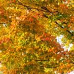 maple_leaves_0004