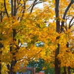 maple_leaves_0006